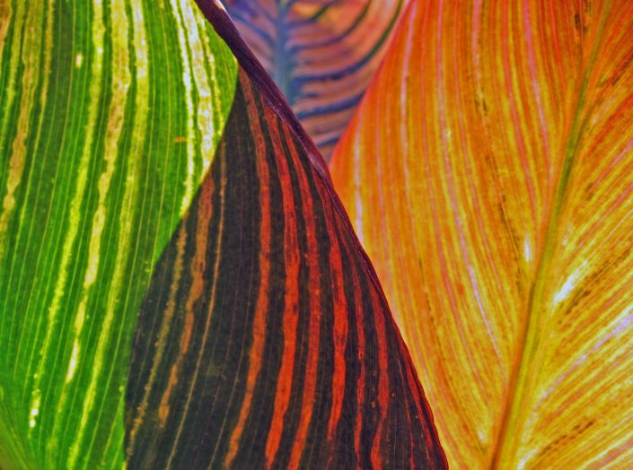 Shadows on Canna Leaves