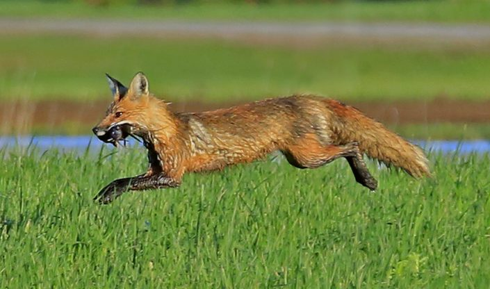 Fox With Fresh Catch