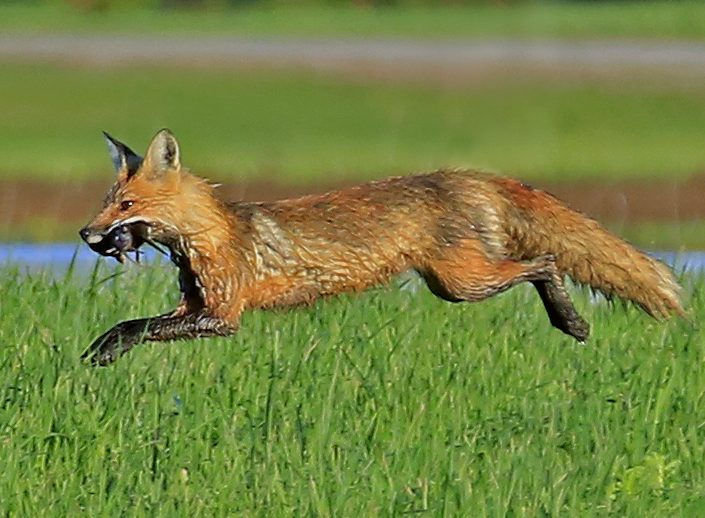 Fox With Fresh Catch