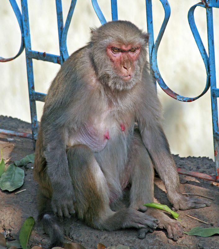 Temple Monkey, NE India