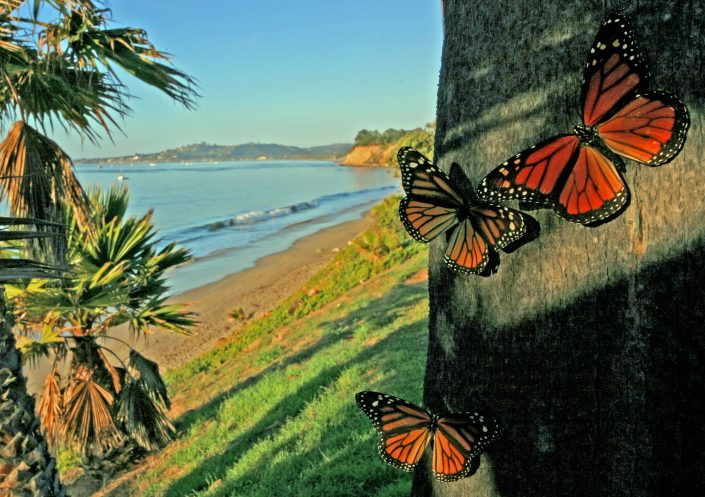 Butterflies at Butterfly Beach