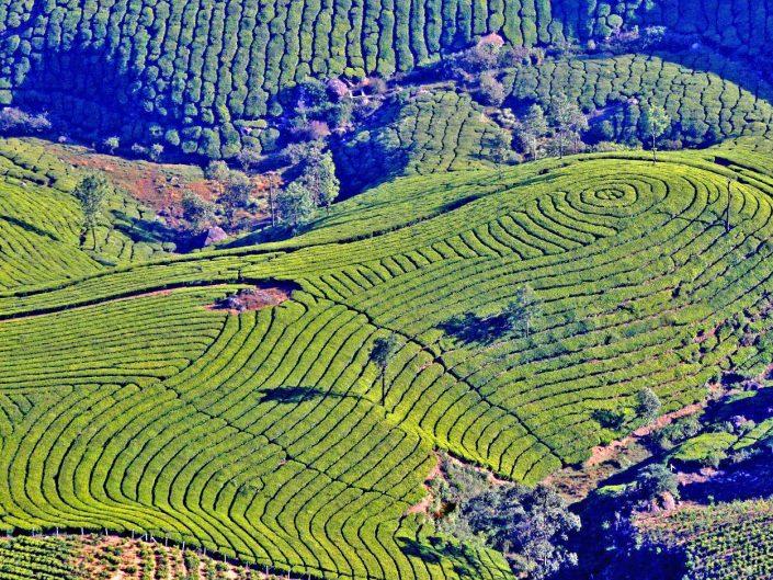 Tea Garden, South India