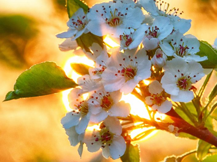 Fruit Blossoms at Sunrise